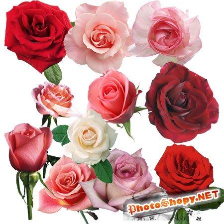 PSD Исходник для фотошоп - Розы