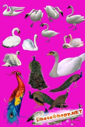 PSD Исходник для фотошоп - Павлины и лебеди