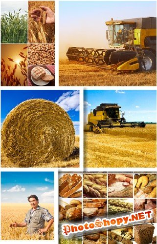 ������ ������� � ���� - ��������� ������� | Harvest wheat and bread