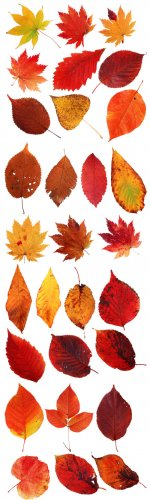 Autumn Leaves PNG Cliparts