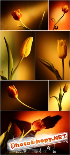 Photo Cliparts - Tulip