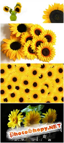 Photo Cliparts - Sunflower (Part 3)