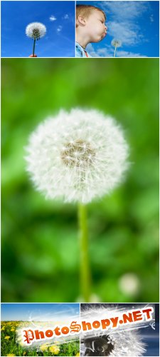 Photo Cliparts - Dandelion