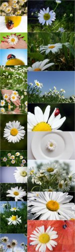 Photo Cliparts - Camomile