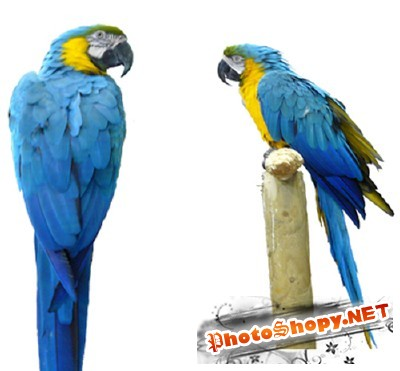 PSD for Photoshop - Colorful large parrot