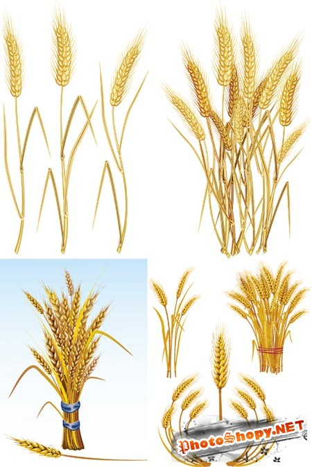 ��������� ������� - ������� / wheat vector Collection