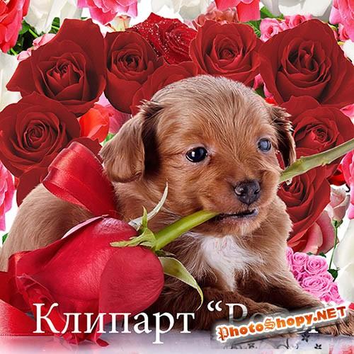 Клипарт для фотошопа - Розы на прозрачном фоне