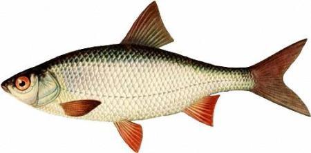 Картинки в формате png - Рыба морская, аквариумная, речная