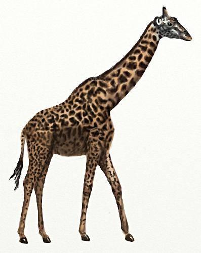 Картинки png - Африканские жирафы