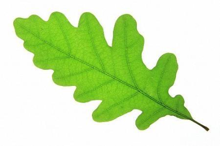 Png на прозрачном фоне - Дубовые листья