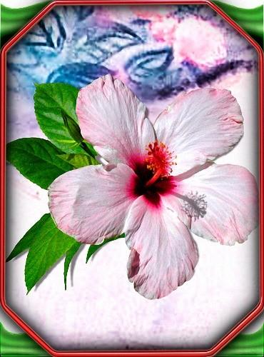 Картинки png - Красивые гибикусы