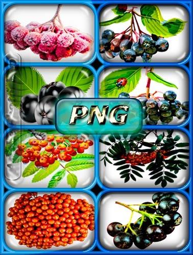 Прозрачные Png - Черная и красная рябина